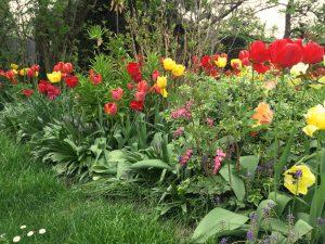 Tulpen im Blumenbeet